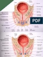organes génitaux