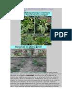 Cladosporiosis o bacteriosis.doc