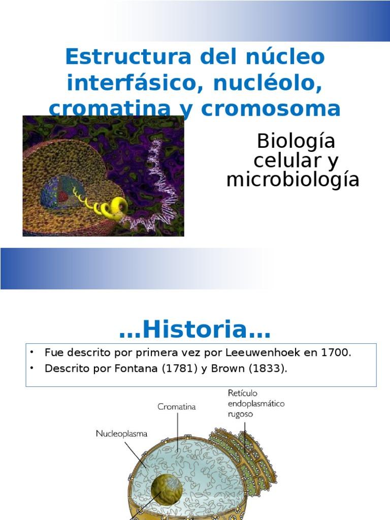 Estructura De Nucleo Interfasico