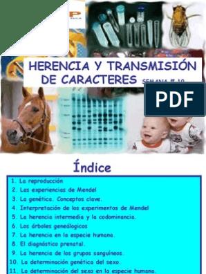 Herencia Y Transmision De Caracteres Dominancia Genética Tipo De Sangre