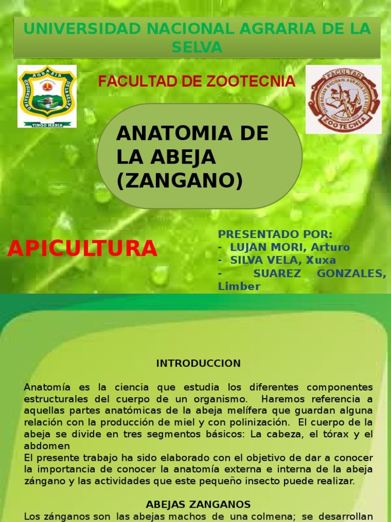 Anatomia de La Abeja (Zangano)