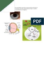 anatomia del ojo.docx