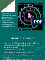 Copia-de-Gametogénesis.ppt