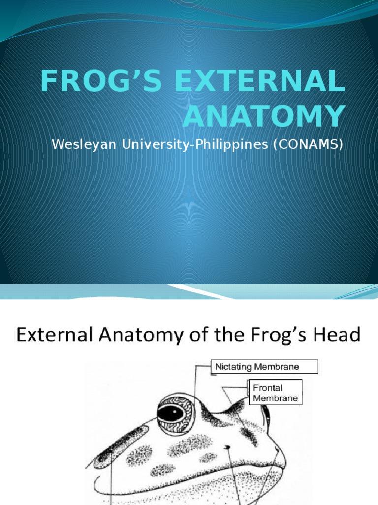 Frogs External Anatomy   Frog   Anatomy