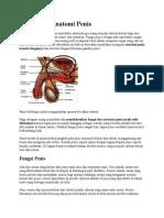 Fungsi Dan Anatomi Penis