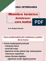 Antebrazo - cara medial.pdf