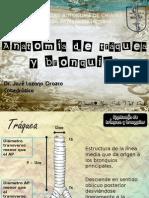 anatomadetrqueaybronquios-130120194315-phpapp01