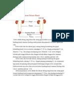 Anatomi Ureter
