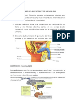 Glandulas Anexas Del Reproductor Masculino