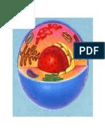 Celula Humana