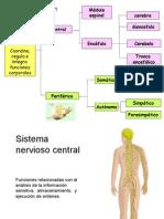 Organizacion Del Sistema Nervioso 2015