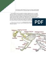 Anatomia Felina