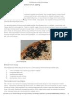 Cara Budidaya Dan Manfaat Dari Semut Jepang