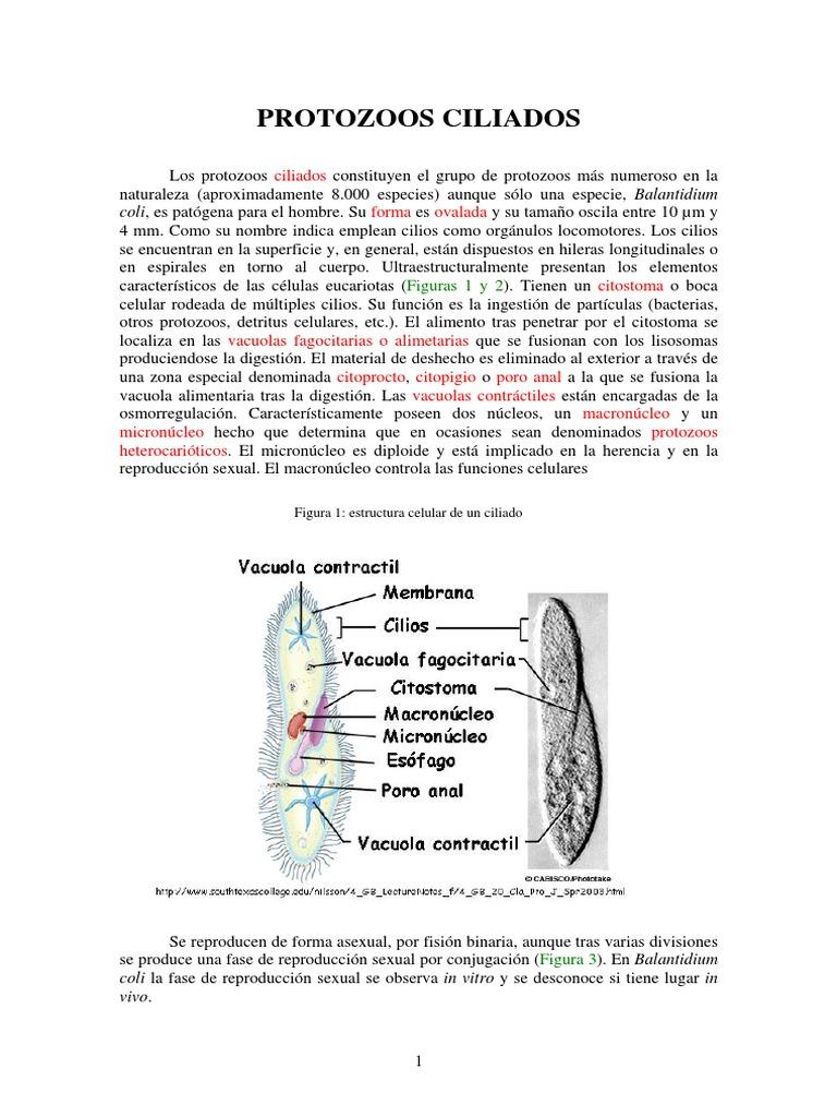 Cilia Dos Célula Biología Microbiología