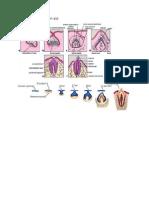 Gambar Perkembangan Gigi