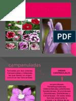 Botanica Campanuladas