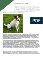 Cachorros Jack Russel Terrier Para Venda