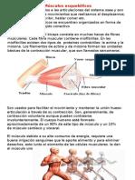 musculos esqueleticos