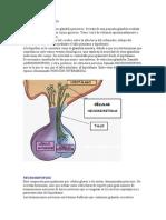 Sistema Endòcrino