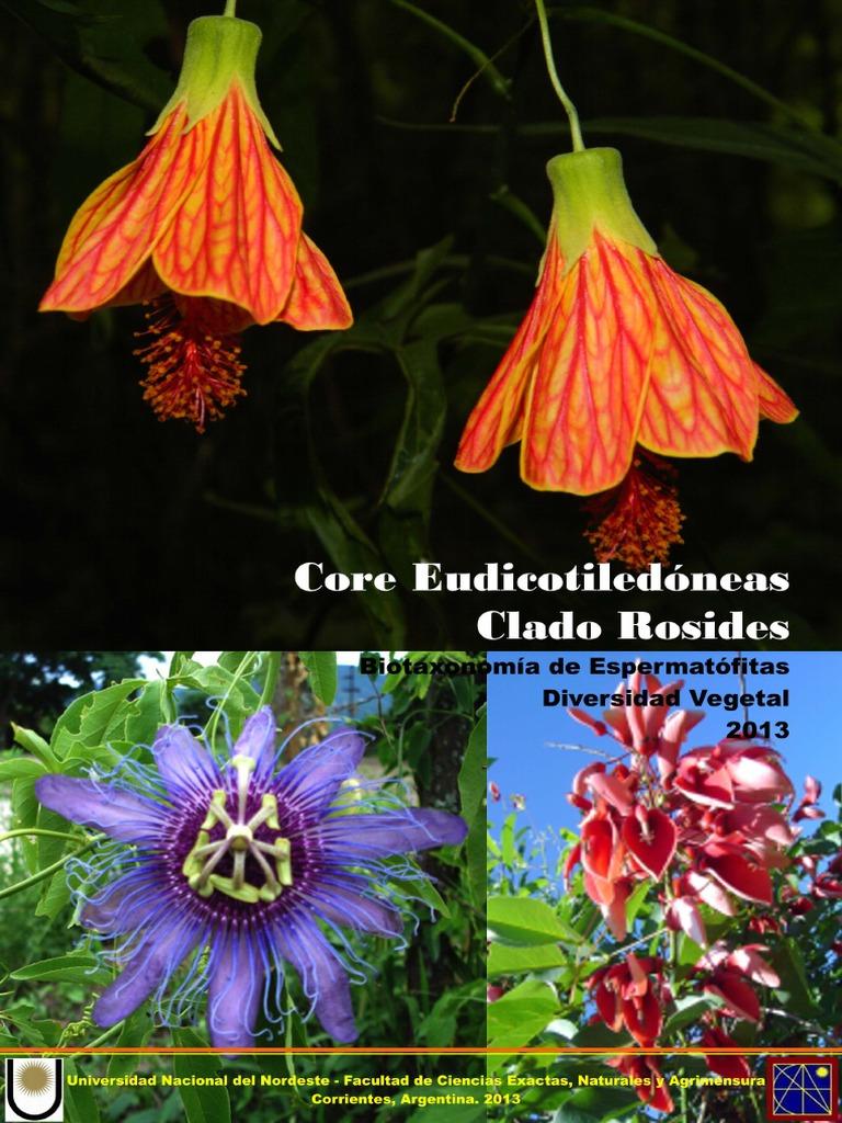 1200 semi Semi di cera Begonia Begonia semperflorens 1200 semi