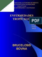 Clinica Bovina Brucelosis