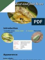 Bhendi Shoot and Fruit Borer - Copy
