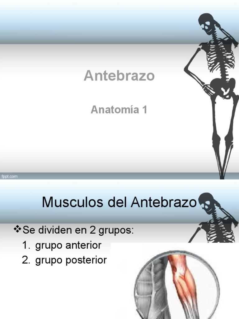 Anatomia Antebrazo Horton