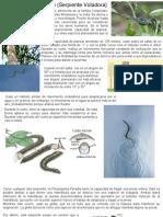 Chrysopelea paradisi (Serpiente Voladora)