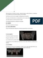 Osteologia Cabeza