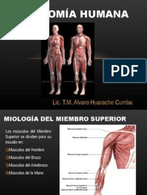 musculos del hombro y brazo pdf