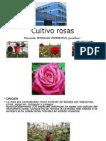 Cultivo rosas.ppt
