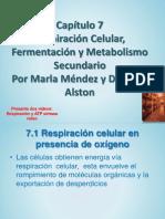 Respiración Celular Fermentacion Metabolismo Secundario