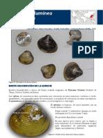 Almeja Asiatica -Corbicula Fluminea