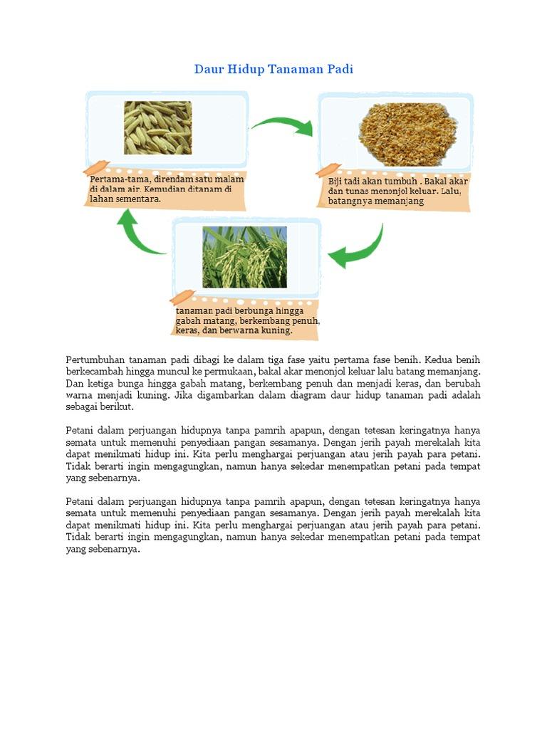 Daur hidup tanaman padi 1536693983v1 ccuart Images