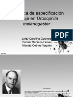 Genética de Especificación Del Eje en Drosophila Melanogaster
