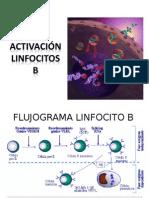 Activacion Linfocitos b