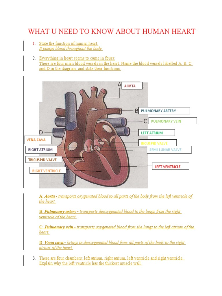 State the function of human heart ccuart Images