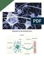 Imagenes de Una Neurona Real