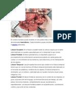 Imagenes y Su Descripcion, Neuroanatomia.