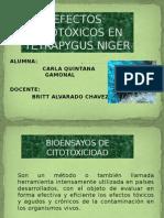 Efectos Citotóxicos en Tetrapygus Niger