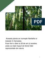 Narilatha Traieste În Hymalaia - o Planta
