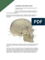Inervacion y Vascularizacion Del Facial