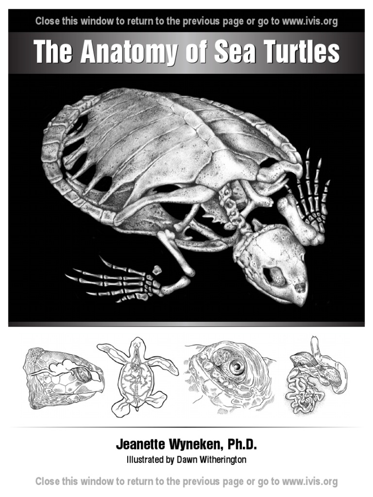 Circulatory System Turtle | Neck | Heart