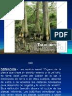 A2 MORFOLOGIAGENERAL DE LA RAIZ2012.pptx