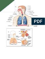 Dibujos Sistemas Respiratorio y Circulatorio
