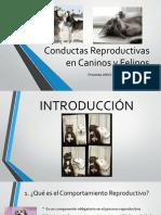 Conductas Reproductivas en Caninos y Felinos - Copia
