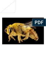 Abeja de Yesero, Insectos, Macro, Perfil, La Vida Silvestre, Naturaleza, Cerrar, Alas, Montado, Paracolletes, Australia