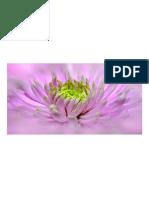 Dalia, Rosa, Cerca, Pano, Flor, Dahlia Simple, Planta, Jardín de Plantas, Jardín de Flores, Dalia de Jardín, Compuestos, Flor de Verano, Flores Ornamentales, Finales de Verano, Dalia Pompón,