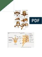 Diagramas Anatómicos de La Columna Vertebral y La Espalda Fer