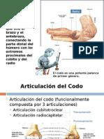 anatomia codo